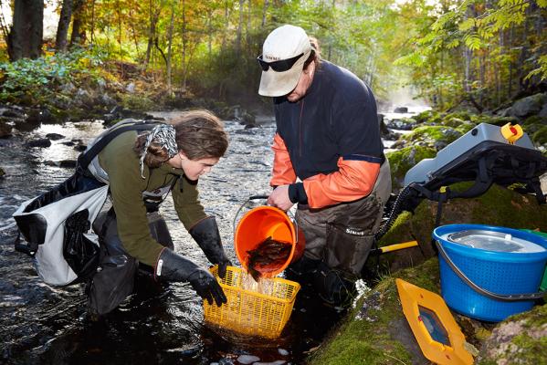 Mälarenergi arbetar tillsammans med Länsstyrelsen i Västmanland och Sveriges Lantbruksuniversitet för att studera vattenmiljön vid Mälarenergis vattenkraftstation i Hedströmmen.