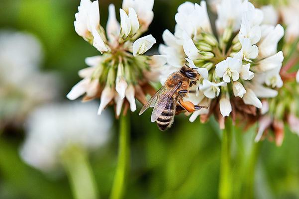 """Bin har en inbyggd kompass och använder solen som riktmärke för att hitta. För att berätta för de andra bina hur de ska hitta till matstället dansar samlarbiet en """"vippdans"""" där hon rör sig i en figur liknande siffran åtta. På så vis beskriver hon riktningen till maten. Ju fortare hon dansar, desto närmre är det till platsen."""